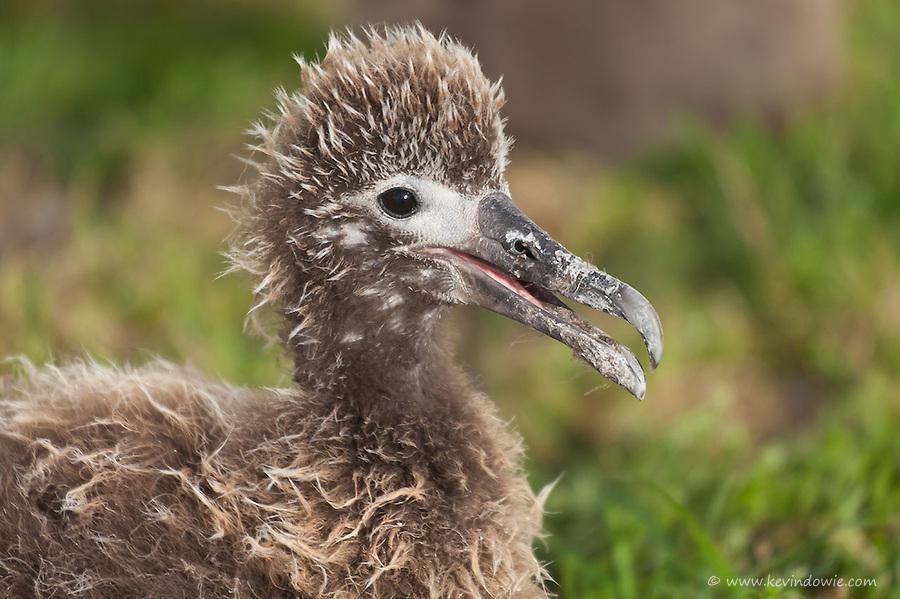 20110412-laysan-albatross-chick-midway-island-0861