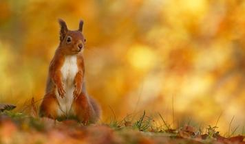 The Red Squirrel - a future in the forest