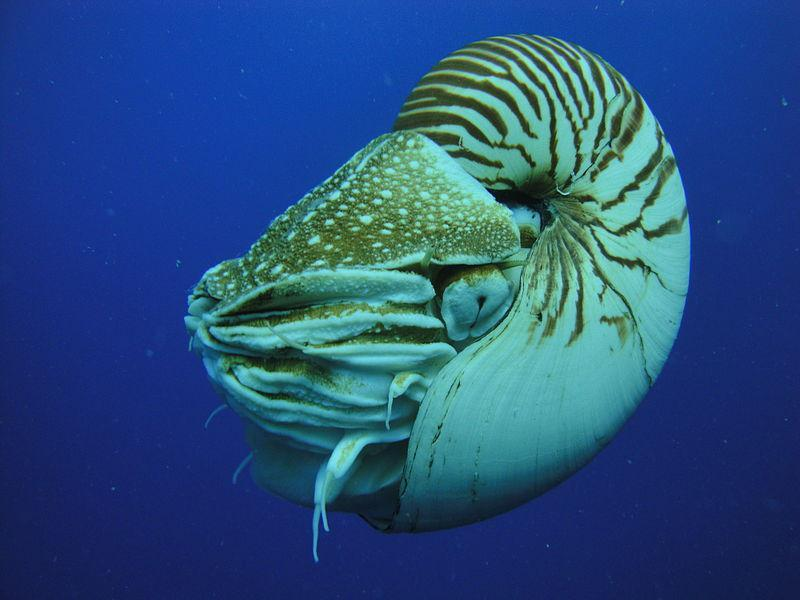 Nautilus - secrete tiny laminations inside their shells in relation to the lunar-tide cycle. Ancient shells have fewer laminations per chamber revealing the shorter days of antiquity (21 hours)