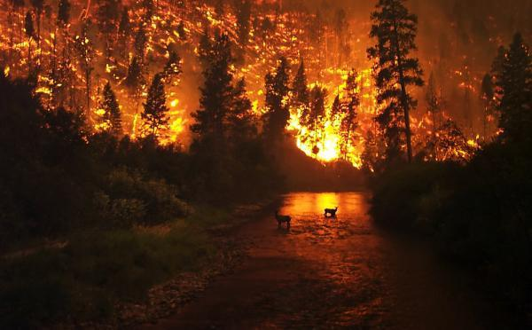 Another-global-warming-effect---forest-fires-pictured-here-two-elks-caught-wildfire-Bitterroot-Natio