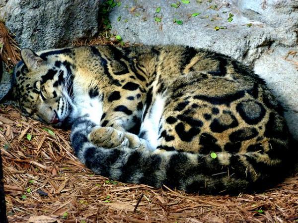 A Clouded Leopard sleeping