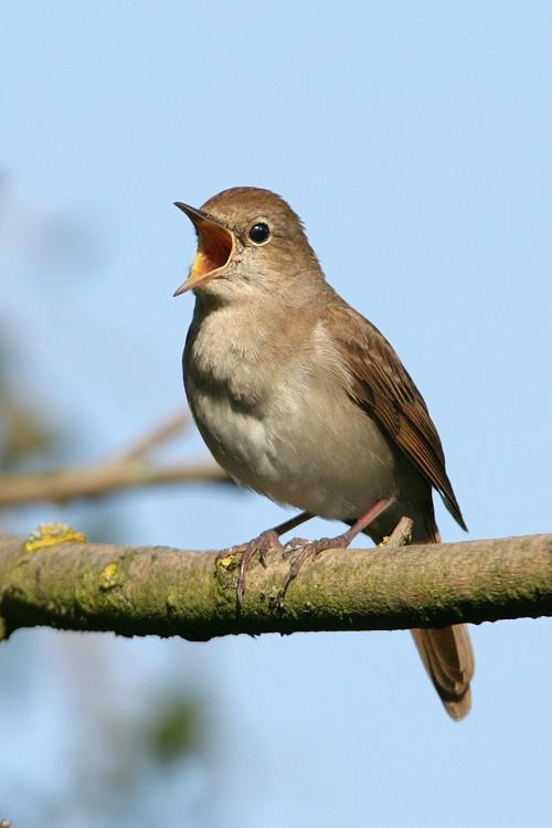 Common_Nightingale