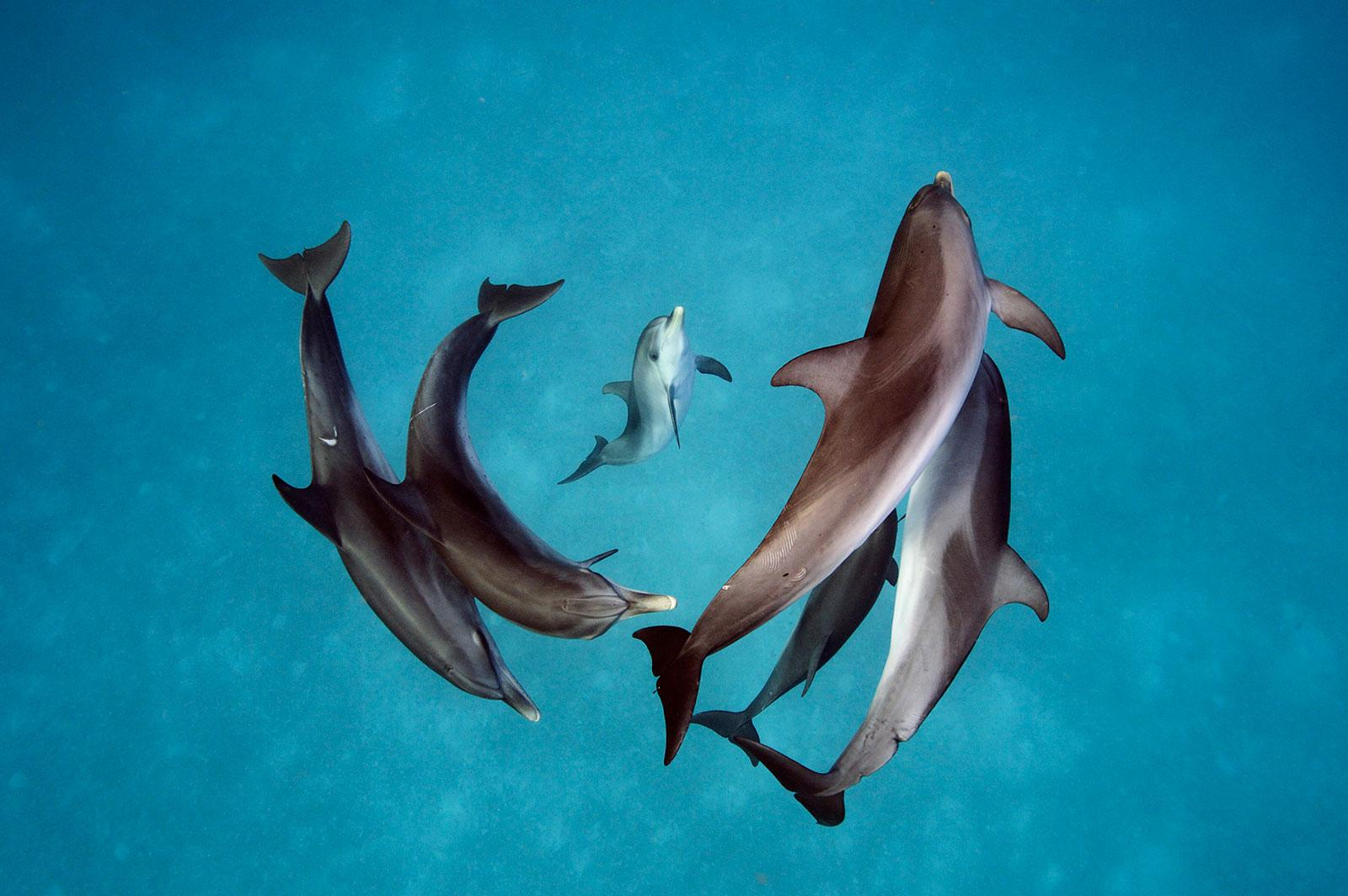Spotted dolphins (Stenella frontalis) in the waters around Bimini in the Bahamas
