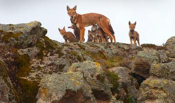 New protection for the world's most endangered canids - the Ethiopian wolves