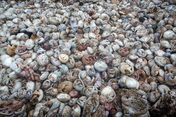 5 tons of frozen pangolin are pictured in a pit before being burnt after a huge pangolin seizure in Indonesia that was on route to Hong Kong or China via Vietnam, 29th April 2015. Photo: Paul Hilton for Wildlife Conservation Society