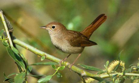 Nightingale-Luscinia-mega-006