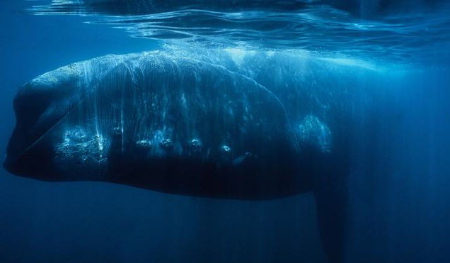 """Right Whale - """"males compete not by fighting but by trying to out-compete each other… in the sheer quantity of sperm that they pass to females in frequent and promiscuous couplings from their prodigious testicles (each about half a tonne)"""""""
