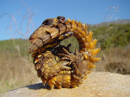 Thorny Devil - has a hydroscopic body drawing moisture from dew and rain to its mouth by capillary action allowing it to survive in arid deserts