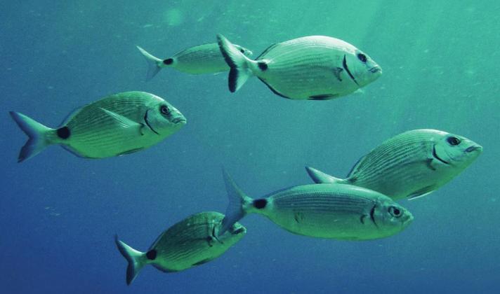 Putting fish welfare at the heart of EU Aquaculture