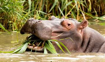 Trophy hunters set their sights on the hippos of Zambia