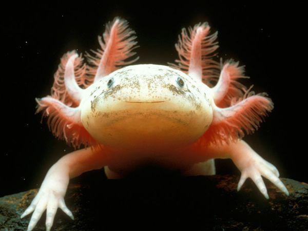 mexican-axolotl