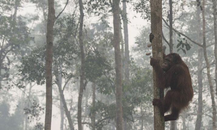 orangutan_opt