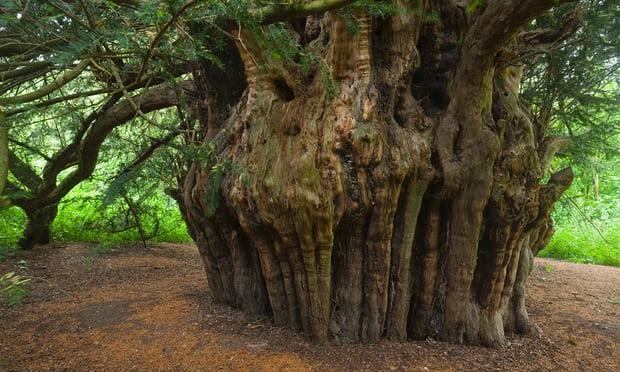 The Ankerwycke or Magna Carta yew near Runnymede