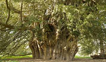 The Extraordinary Legend of the Yew