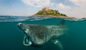 Can you help Scotland step up to protect its giant sharks?