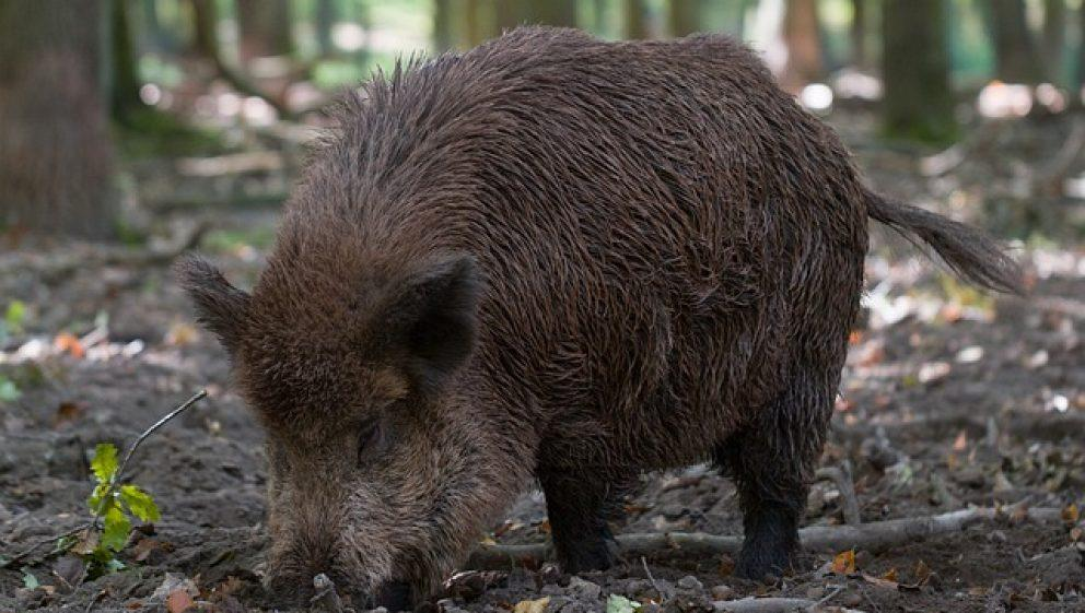 Animal lovers, ecologists and celebs support wild boars in
