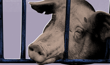 Systemic sex abuse discovered on UK factory farms