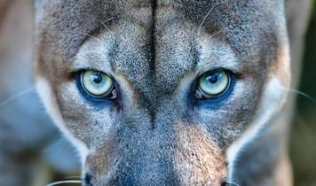 Living with The Florida Panther