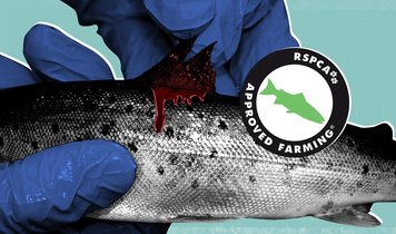 Open letter to the RSPCA calls for an end to the certification of Scottish salmon