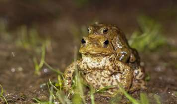 Okey-croakey - volunteers help with mass migration of toads