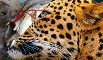 24 Chinese businesses busted selling bones of endangered leopards