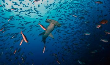 China's fishing armada threatens endangered hammerheads