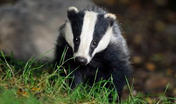 "Horror as UK government moves to ""badger annihilation"""