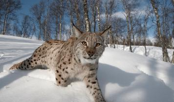 Is Scotland ready for the return of lynx?